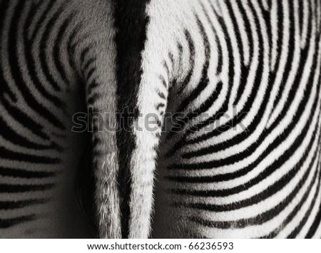 Zebra (Equus grevyi) - stock photo
