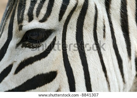 zebra eye - stock photo