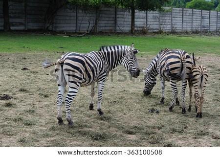 Zebra family in the ZOO  - stock photo