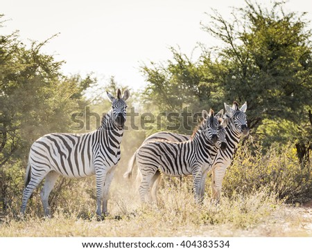Zebra family with baby Zebra in Botswana, Africa - stock photo