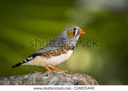 Zebra Finch - stock photo