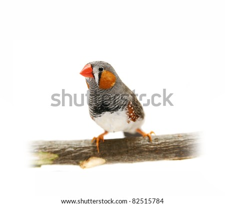 Zebra Finch in front of a white background - stock photo