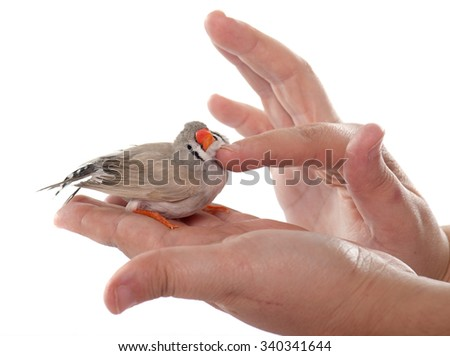 Zebra finch in front of white background - stock photo