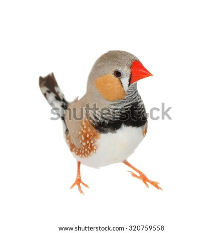 Zebra Finch isolated on white background with clipping path, Taeniopygia guttata - stock photo