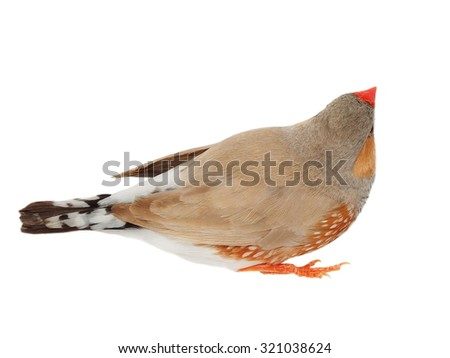 zebra finch isolated on white background with clipping path, taeniopygia guttata