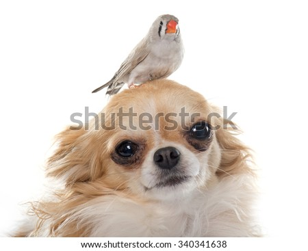 Zebra finch on chihuahua in front of white background - stock photo