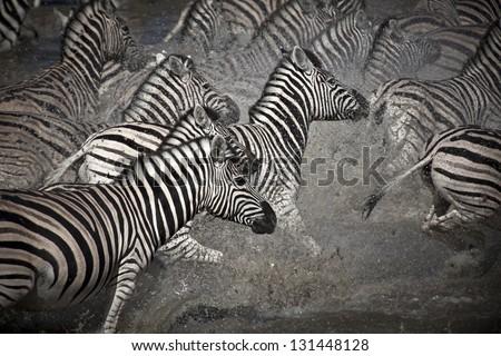 Zebra flight - stock photo