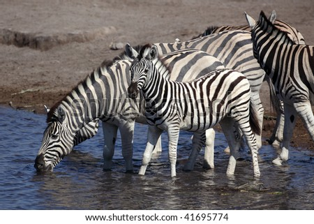 Zebra foal with its family at the waterhole, Etosha NP, Namibia