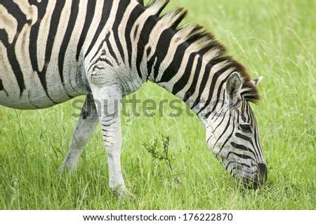 Zebra grazing on grass in Umfolozi Game Reserve, South Africa, established in 1897 - stock photo