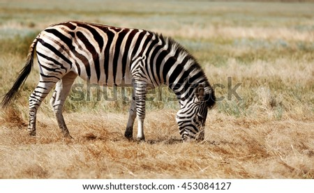 Zebra grazing on the pastures in vivo. Safari in the desert national bio Askania Nova, Ukraine. Protection of animals Red Book of Nature