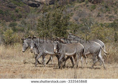 Zebra (Grevy's) - stock photo