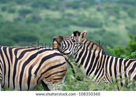 Zebra Grimace. Zebra resting with it's head on a female's back - grimacing. Photographed in Hluhluwe Umfolozi National Park. South Africa. - stock photo