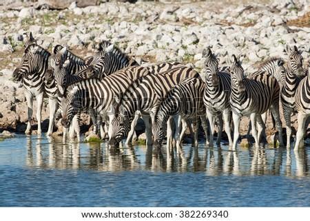 Zebra herd drinking water in Etosha National Park in Namibia - stock photo