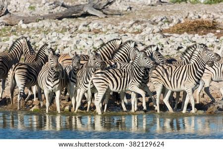 Zebra herd standing at water's edge in Etosha National Park in Namibia - stock photo