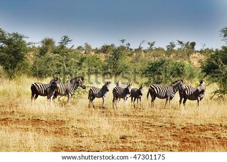 Zebra Hluhluwe-Imfolosi South Africa - stock photo