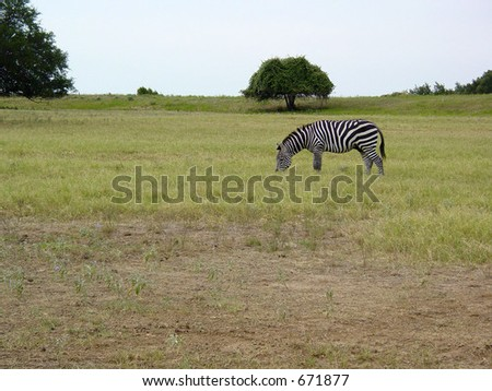 Zebra in a field - stock photo