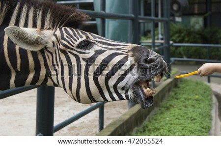 Zebra in a zoo being fed by visitor