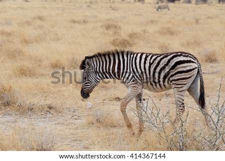 Zebra in african bush. Etosha national Park, Ombika, Kunene, Namibia. wildlife photography