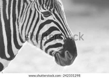 Zebra in black and white, soft focus, some grain - stock photo