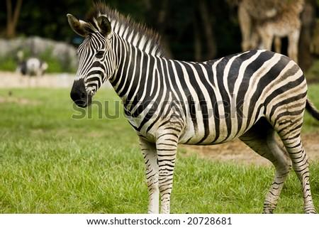 Zebra in Khoakeaw Zoo Thailand - stock photo
