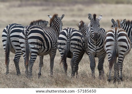 Zebra in National Park - stock photo