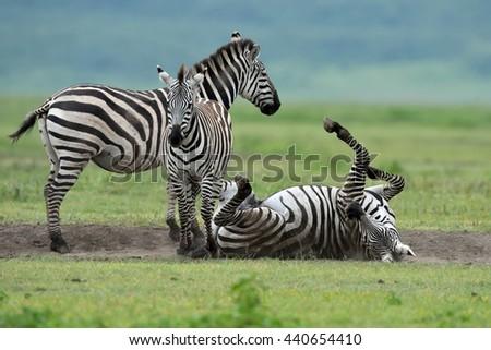 Zebra in Serengeti National Park, Tanzania, East Africa - stock photo