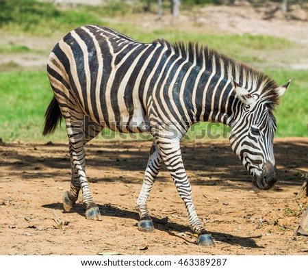 Zebra  in small zoo in park
