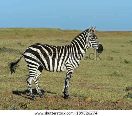 Zebra in the Amboseli National Park. Kenya - stock photo