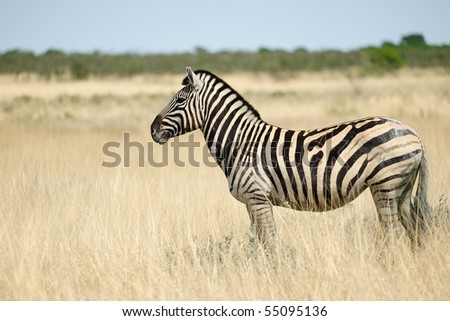 Zebra in the bush - stock photo
