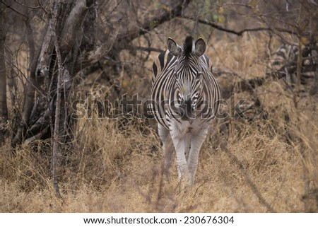 zebra in the bushes. South Africa. - stock photo