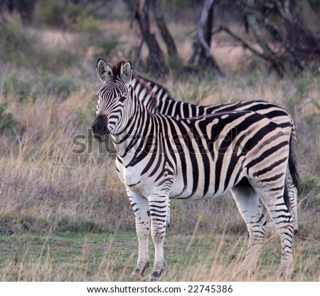 Zebra in the Free State, South Africa.