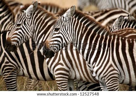 Zebra in the grass of the Masai Mara Reserve (Kenya) - stock photo