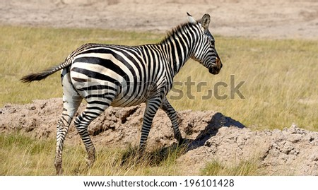Zebra in the grasslands of the National Park. Africa, Kenya