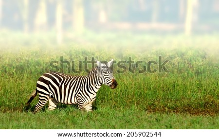 Zebra in the Lake Nakuru National Park in Kenya, Africa - stock photo