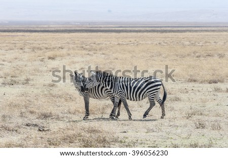 Zebra in the National Park - stock photo