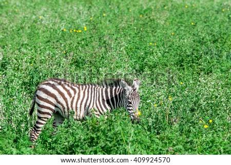 Zebra in the Ngorongoro Crater, Tanzania - stock photo
