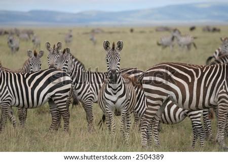 zebra square food dating