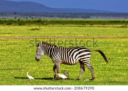Zebra in the Serengeti National Park, Tanzania - stock photo