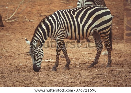 zebra in the zoo Thailand.  vintage tone