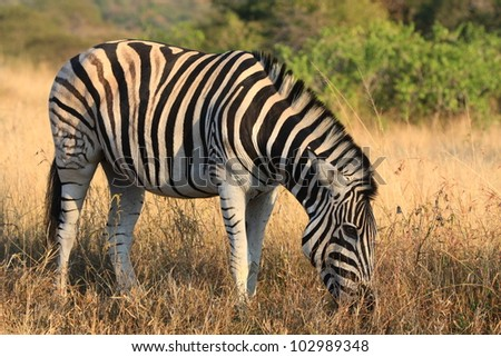 Zebra in winter bush