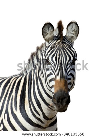 Zebra isolated on white background - stock photo
