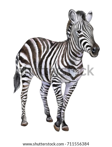Zebra isolated on white background. Watercolor. Illustration. Picture. Clip-Art. Close-up. Handmade