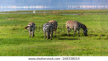 Zebra Lake Nakuru, Animals Kenya Lake Nakuru, Kenya, lake, nakuru, park, national, serengeti, nature, africa - stock photo