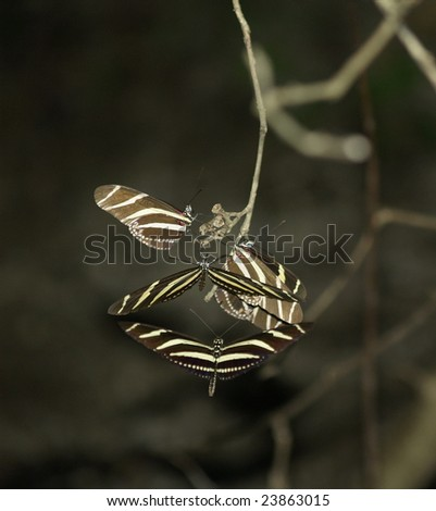 Zebra Longwing Butterfly evening cluster, Ometepe Islands, Nicaragua - stock photo