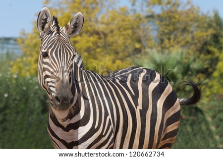 Zebra looking at one side