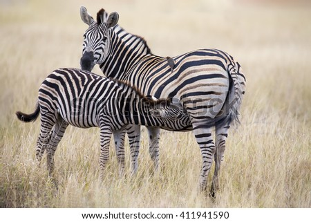 Zebra mare and foal standing close together in the bush for safety