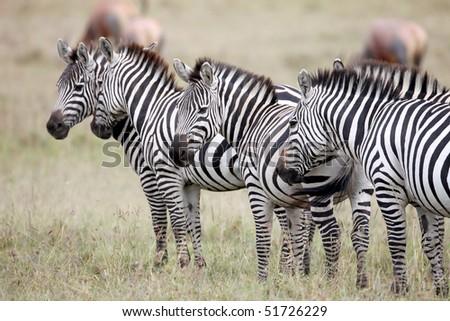 Zebra, Masai mara,  Kenya - stock photo