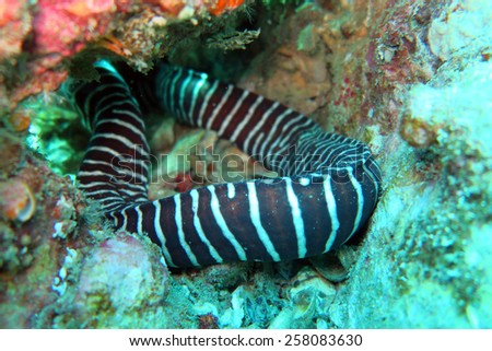 Zebra Moray at the coral reef of Anemone Reef, Thailand - stock photo