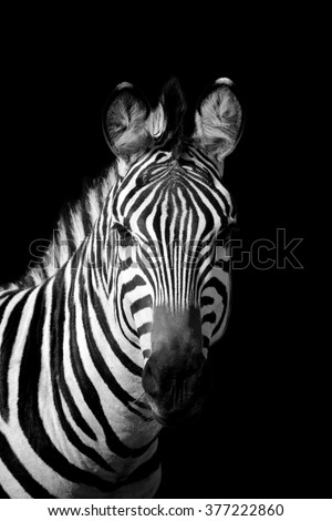 Zebra on dark background. Black and white image - stock photo