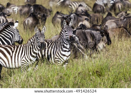 Zebra on grassland in Africa, National park of Kenya and border of Tanzania